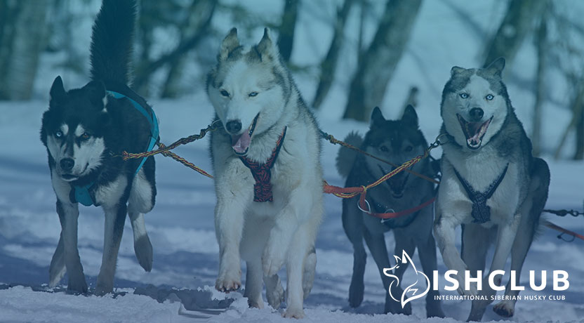 Blog3 - Siberian Huskies as Sled Dogs