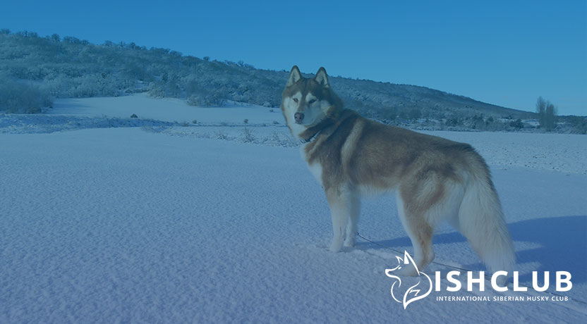 Blog6 - Important Characteristics of Siberian Huskies