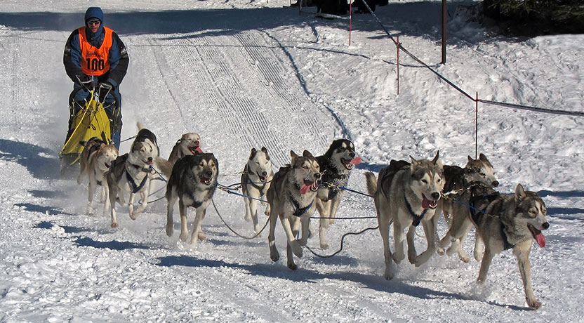 f1 - Siberian Huskies as Sled Dogs