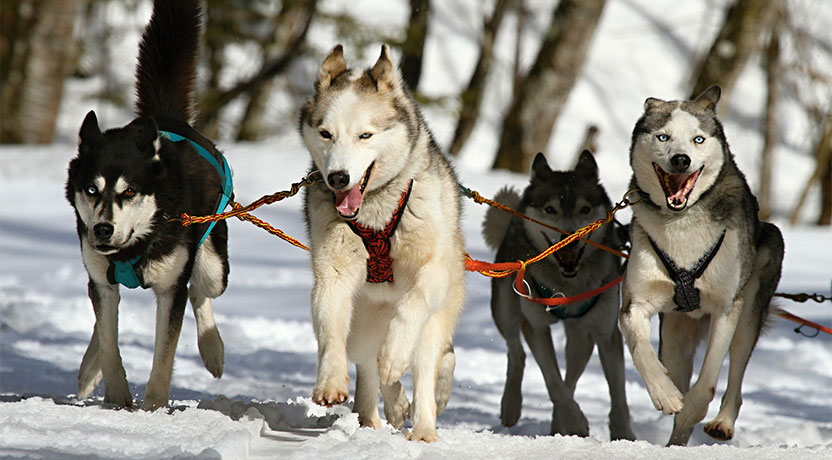f2 - Siberian Huskies as Sled Dogs