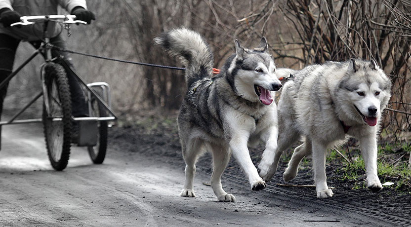 train1 - How to Train a Siberian Husky